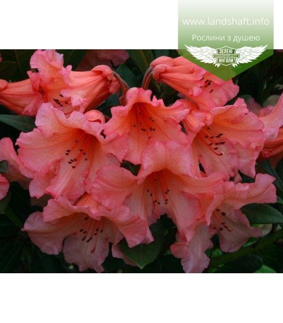 Rhododendron 'Tortoiseshell Orange', Рододендрон 'Тортесшел Оранж'