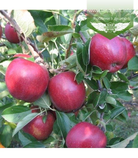 Malus domestica 'Braeburn Mariri Red', Яблоня 'Бреберн Марири Ред'