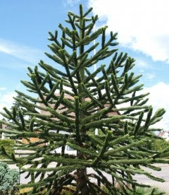 Araucaria araucana, Араукарія чилійська