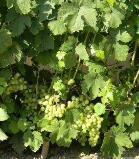 Виноград 'Восторг мускатный'