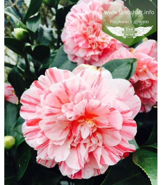 Camellia japonica 'Bonomiana (Bicolor)', Камелія японська 'Бономіана (Біколор)'