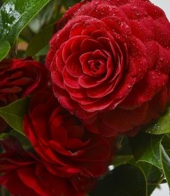 Camellia japonica 'Black Lace', Камелія японська 'Блек Лейс'