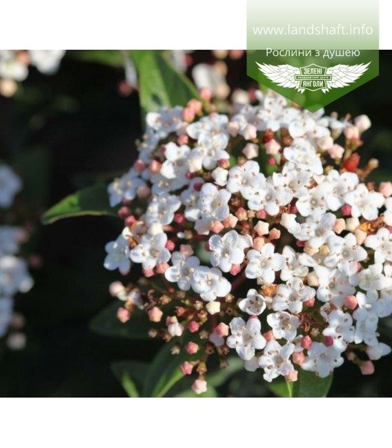 Viburnum tinus 'Spirit', Калина вечнозеленая 'Спирит'
