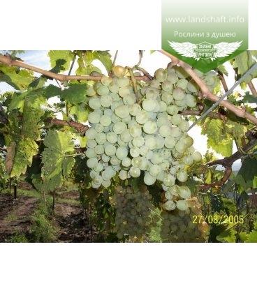 Виноград 'Восторг белый'