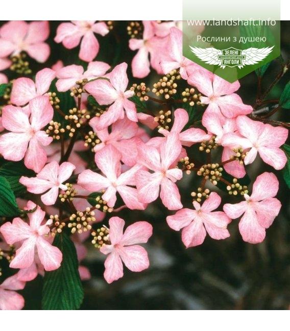 Viburnum plicatum 'Molly Schroeder', Калина складчатая 'Молли Шредер'