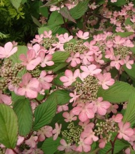Viburnum plicatum 'Molly Schroeder', Калина складчаста 'Моллі Шрьодер'