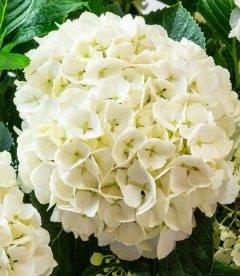 Hydrangea macrophylla 'Soeur Therese', Гортензія крупнолиста 'Сор Терез'