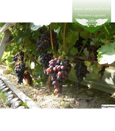 Виноград 'Кодрянка'