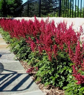 Astilbe arendsii 'Astary Red', Астильба Арендса 'Астарі Ред'
