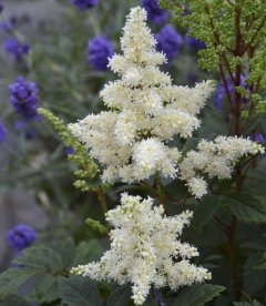 Astilbe arendsii 'Astary White', Астильба Арендса 'Астарі Вайт'