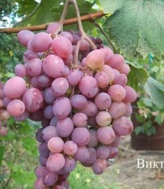 Виноград 'Виктория'