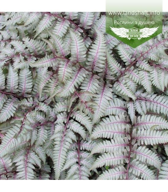 Athyrium niponicum 'Silver Falls', Папороть японська 'Сілвер Фолз'