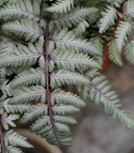 Athyrium niponicum 'Silver Falls', Папоротник японский 'Силвер Фолз'