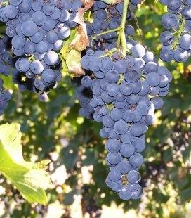 Vitis vinifera 'Cabernet Cortis', Виноград винный 'Каберне Кортис'