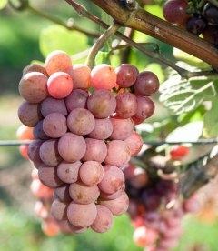 Vitis vinifera 'Traminer Pink', Виноград винний 'Трамінер Рожевий'