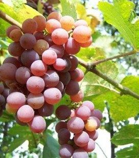 Vitis vinifera 'Traminer Pink', Виноград винный 'Траминер Розовый'