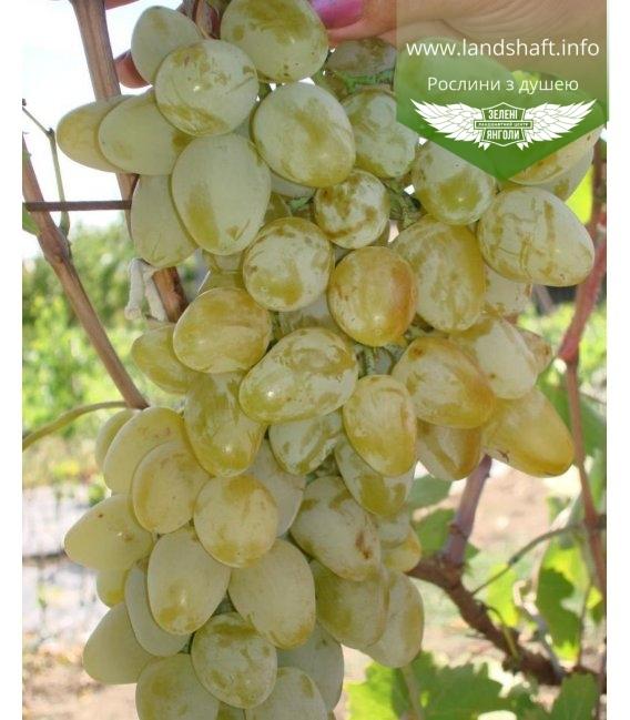 Vitis vinifera 'Monarch', Виноград 'Монарх'
