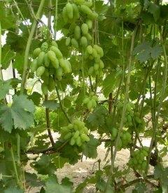 Виноград 'Тимур'