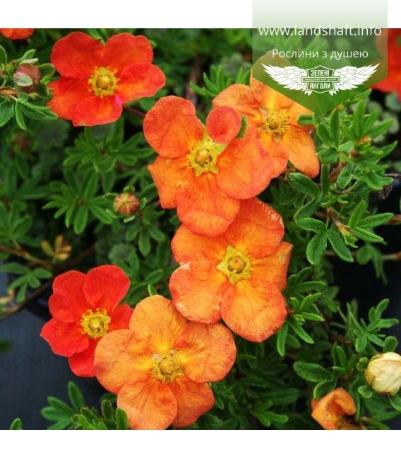 Potentilla fruticosa 'Red Ace', Лапчатка кущова 'Ред Ейс'