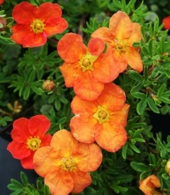 Potentilla fruticosa 'Red Ace', Лапчатка куcтарниковая 'Ред Эйс'
