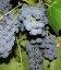 Vitis vinifera 'Moldova', Виноград 'Молдова'