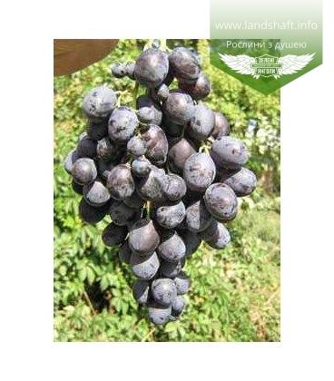 Виноград 'Таврія'
