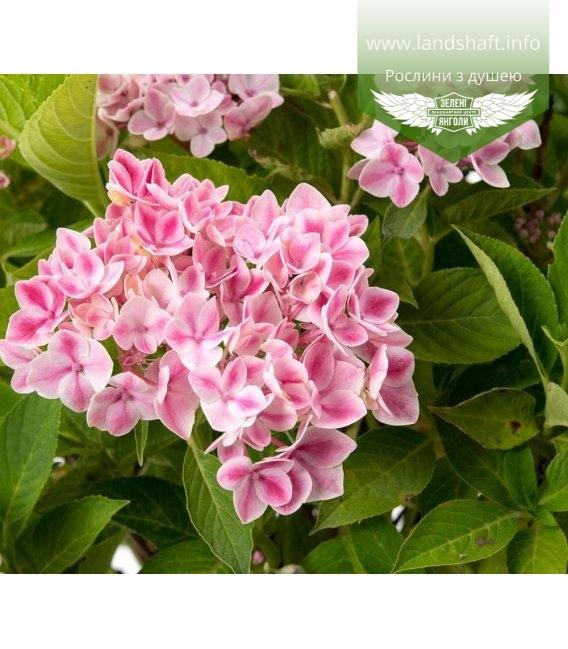 Hydrangea macrophylla 'Forever And Ever/Peppermint', Гортензия крупнолистная 'Пепперминт'