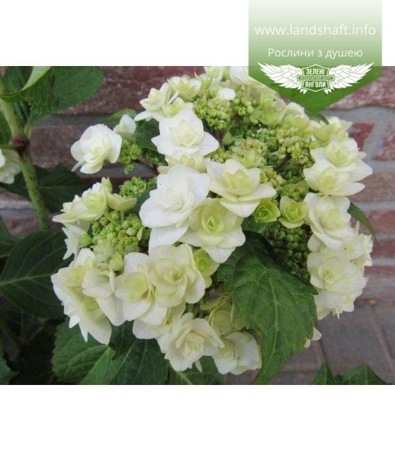 Hydrangea macrophylla 'Doppio Bianco', Гортензія крупнолиста 'Допіо Б'янко'