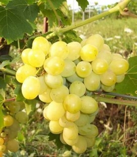 Виноград 'Лора'