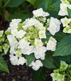 Hydrangea macrophylla 'Doppio Bianco', Гортензия крупнолистная 'Допио Бьянко'