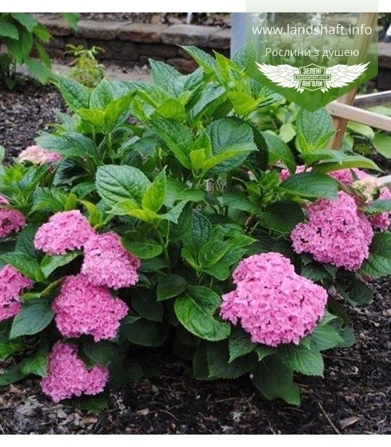 Hydrangea macrophylla 'Perfection', Гортензия крупнолистная 'Перфекшн'