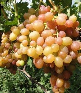 Vitis vinifera 'Chameleon', Виноград 'Хамелеон'