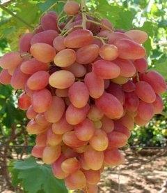 Vitis vinifera 'Preobrazhenie', Виноград 'Прєображеніє'