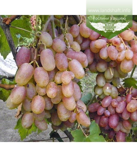 Vitis vinifera 'Preobrazhenie', Виноград 'Преображение'