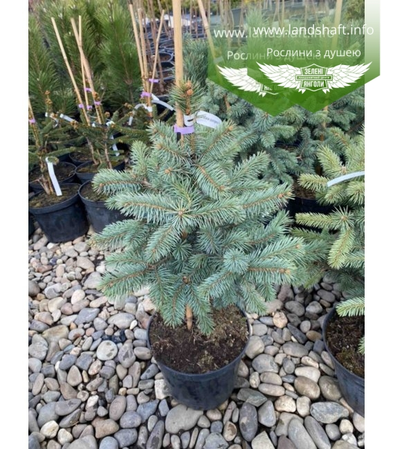Picea pungens 'Fat Albert' Ель колючая