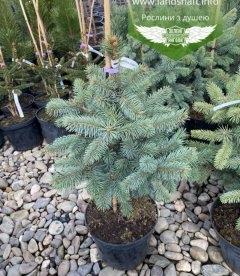 Picea pungens 'Fat Albert', Ель голубая 'Фат Альберт'
