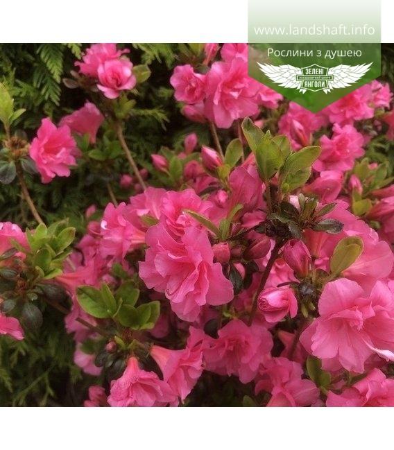 Azalea japonica 'Babuschka', Азалія японська 'Бабушка'