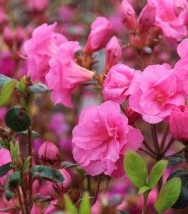 Azalea japonica 'Babuschka', Азалия японская 'Бабушка'