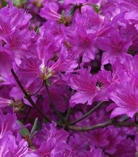Azalea japonica 'Geisha Purple', Азалія японська 'Гейша Пьорпл'