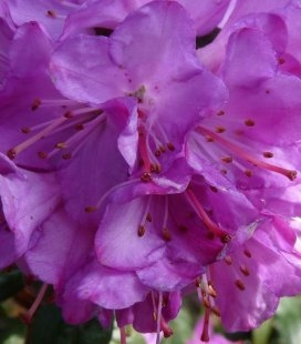 Azalea japonica 'Geisha Purple', Азалия японская 'Гейша Перпл'