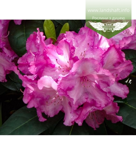 Rhododendron yakushimanum 'Blurettia', Рододендрон якушиманский 'Блуреттиа'