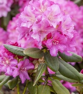 Rhododendron yakushimanum 'Blurettia', Рододендрон якушиманський 'Блуреттіа'