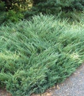 Juniperus sabina 'Glauca', Можжевельник козацкий 'Глаука'