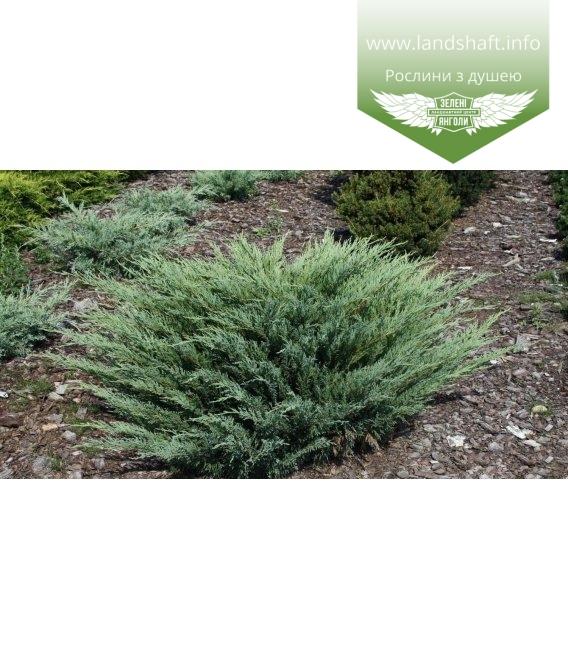 Juniperus sabina 'Glauca', Ялівець козацький 'Глаука'