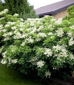 Hydrangea anomala subsp. petiolaris, Гортензия черешковая (плетистая)