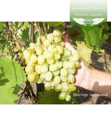Виноград 'Восторг овальный'