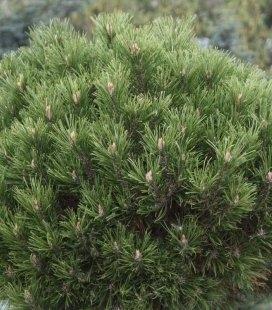 Pinus mugo 'Hesse' Сосна горная