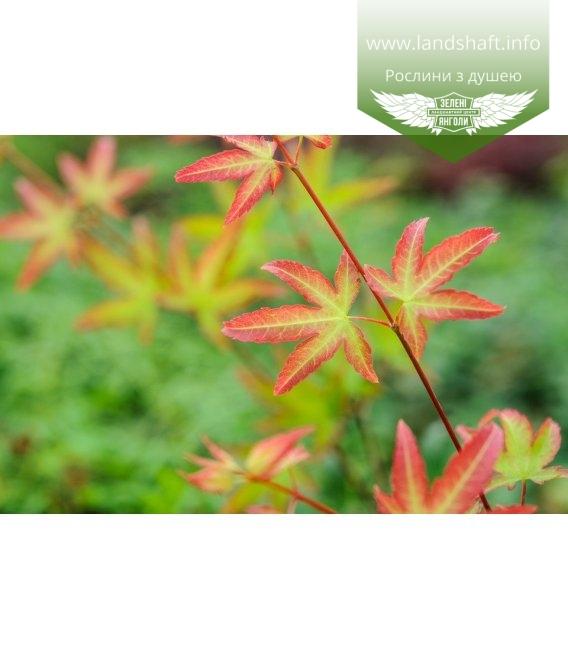 Acer palmatum 'Little Princess', Клен пальмолистий 'Літтл Прінцесс'