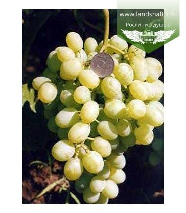 Виноград 'Восторг идеальный'