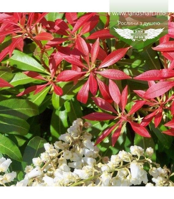 Pieris japonica 'Forest Flame', Пиерис японский 'Форест Флейм'